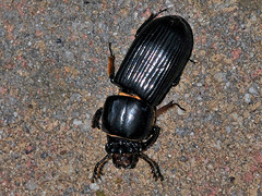 Horned Passalus/Bess Bug, Odontotaenius disjunctus
