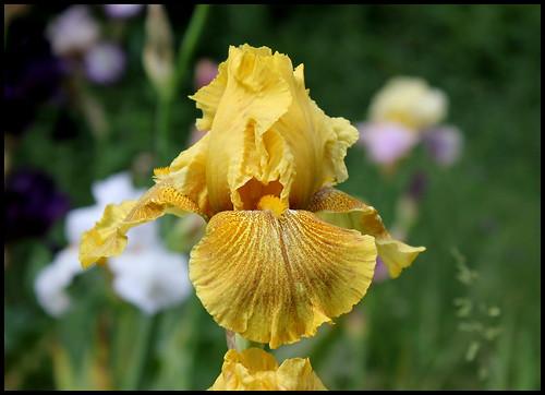 Iris 'Rio de Oro' - Plough 1983 27076641744_699710472e