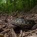 Eastern Garter Snake by Andrew Snyder Photography