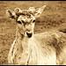 Deer !!!