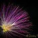 Mimosa Bloom by Jeremy Schumacher