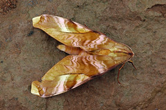 Moths of Central African Republic