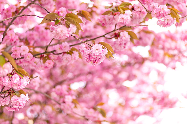 Blossom loveliness