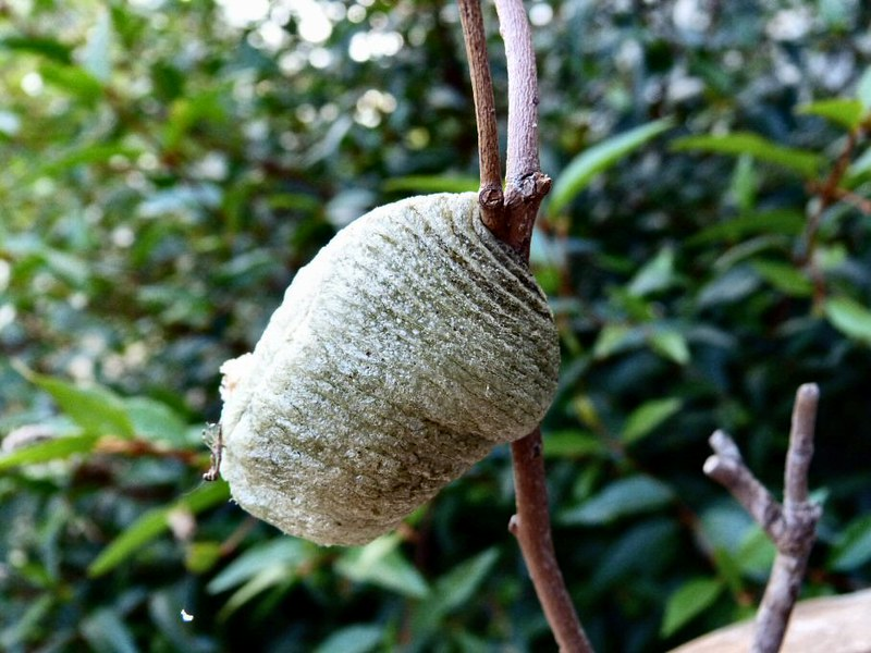 Preying Mantis egg case  E Collins