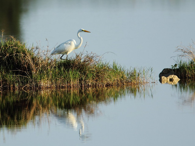 Great Egret reflection 20130519