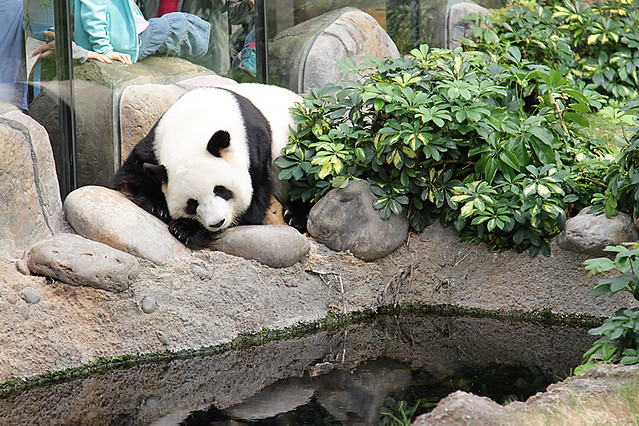 Panda at Ocean Park in Hong Kong