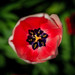 Tulip by blurb