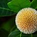 Neolamarckia cadamba (কদম ফুল) by Sohag.Mahbub