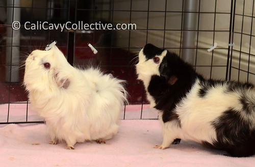 guinea pig rescue story