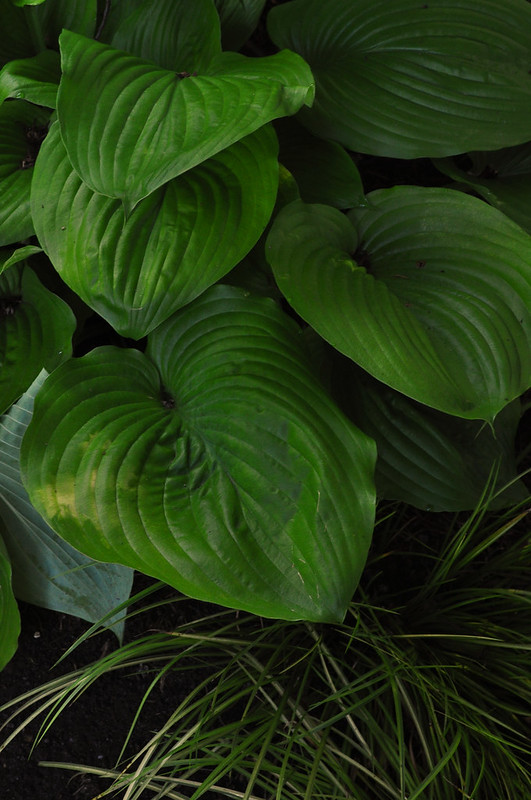 Eyre Hall (Hosta)