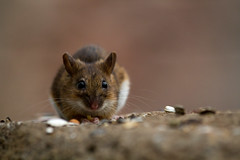 animal, rodent, mouse, macro photography, hamster, fauna, close-up, degu, whiskers, pest, gerbil, wildlife,