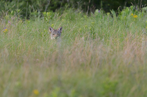 Coyote in the Grass-47026.jpg