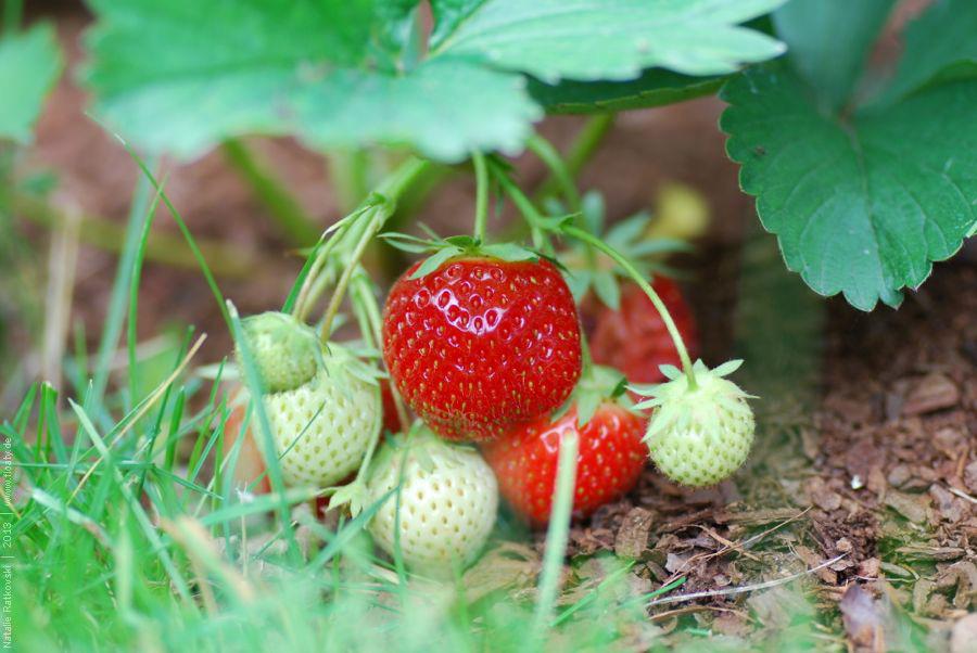 Eigene Erdbeeren! Mmmm :-)
