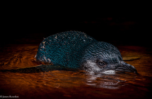 Little blue penguin, Eudyptula minor  photo James T. Reardon-2731 by © James Reardon