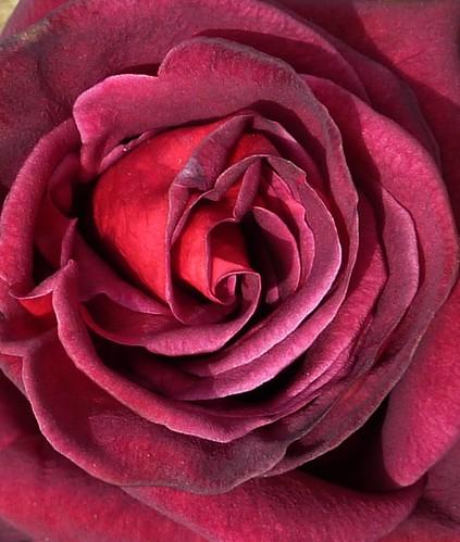 Rose by Bebopgirl1969