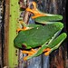 Small photo of Red-eyed Leaf Frog (Agalychnis callidryas)