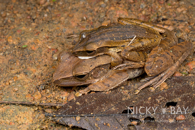 Four-Lined Tree Frogs (Polypedates leucomystax) - DSC_0764