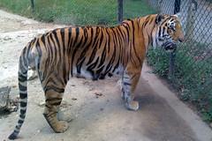 IMG_0031: Greensboro Tiger