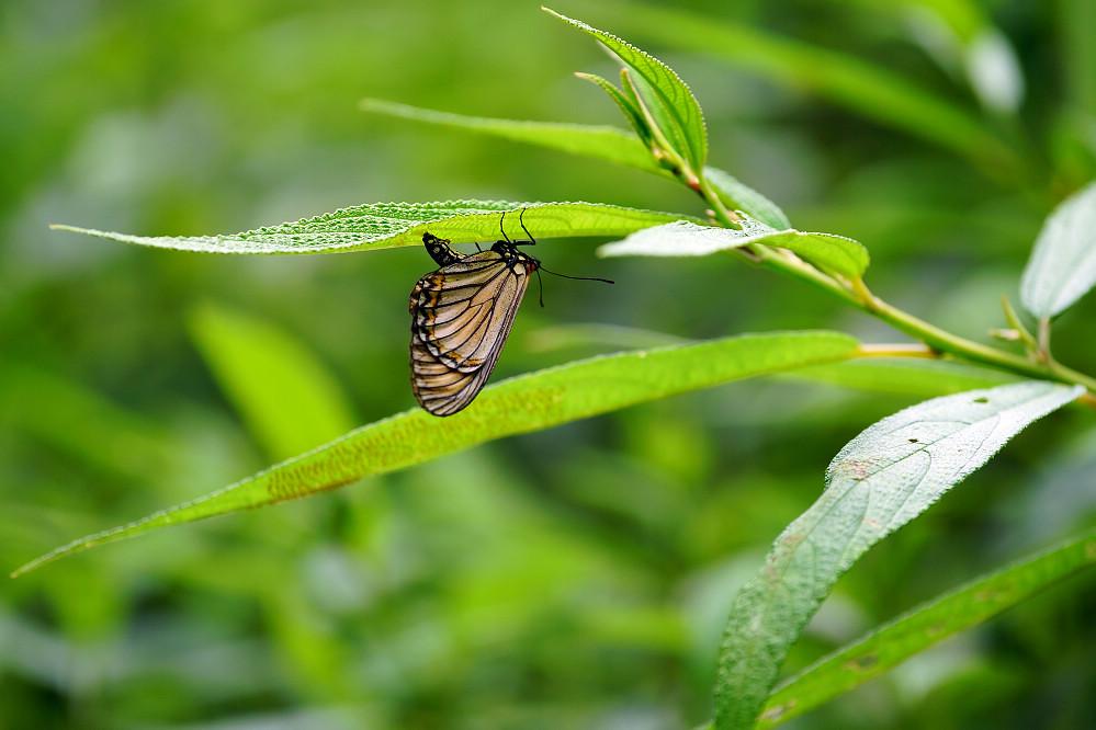 珍蝶屬苧麻珍蝶-1