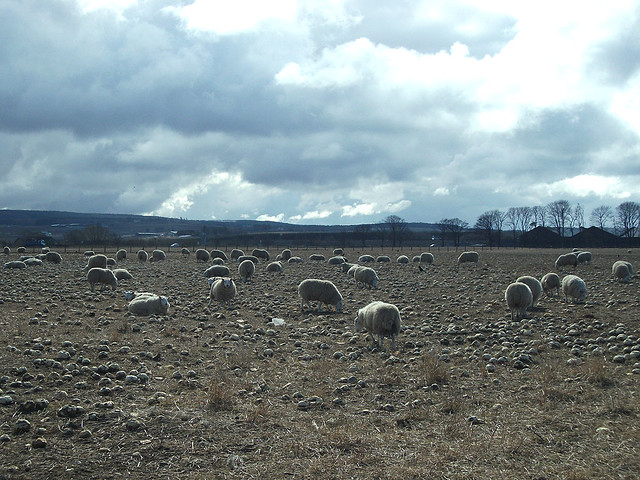 Sheep in a turnip field
