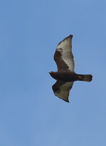bird texas darkmorph broadwingedhawk buteoplatypterus