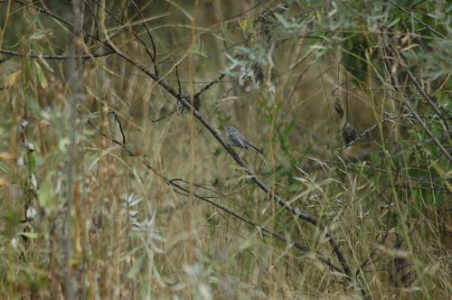 Blue-gray Gnatcatcher, Depoe Bay, OR