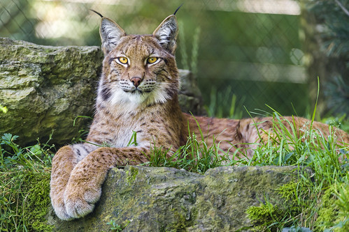 Resting lynx by Tambako the Jaguar