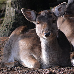 wallaby, animal, deer, fauna, musk deer, wildlife,