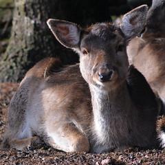 pack animal(0.0), wallaby(1.0), animal(1.0), deer(1.0), fauna(1.0), musk deer(1.0), wildlife(1.0),