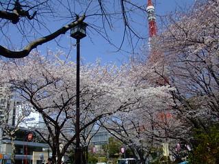 朝10時半・桜
