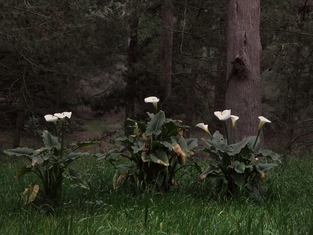 Calla Lily flowers in Golden Gate Park, San Francisco (2014)