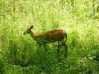 Deer in Green