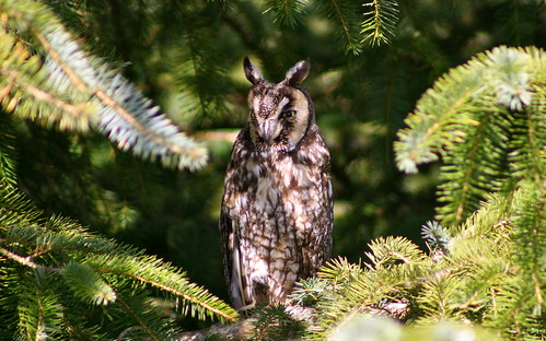 california bird river bay humboldt long wildlife birding owl area prey mad slough eared longeared asiootus