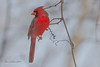 Cardinal Rouge, Northern Cardinal_0596