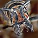 Longhorn Beetle by Johan J.Ingles-Le Nobel