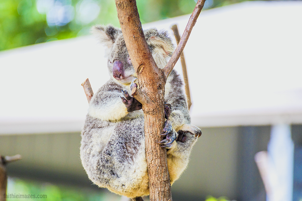 koala bear in Queensland