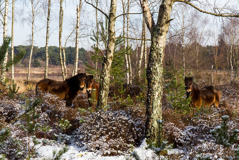 Exmoor ponies in the snow