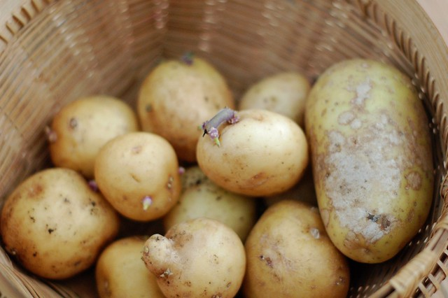 Yukon Gold Potatoes for the Creamy Roasted Garlic & Potato Soup by Eve Fox, the Garden of Eating, copyright 2015