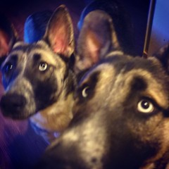 No idea what personal space is. #GSD #husky #shepsky #puppy