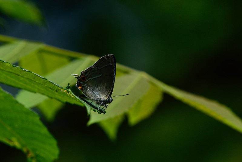 オオミドリシジミ / Favonius orientalis / The Oriental Hairstreak
