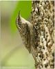 Bar Tailed Treecreeper