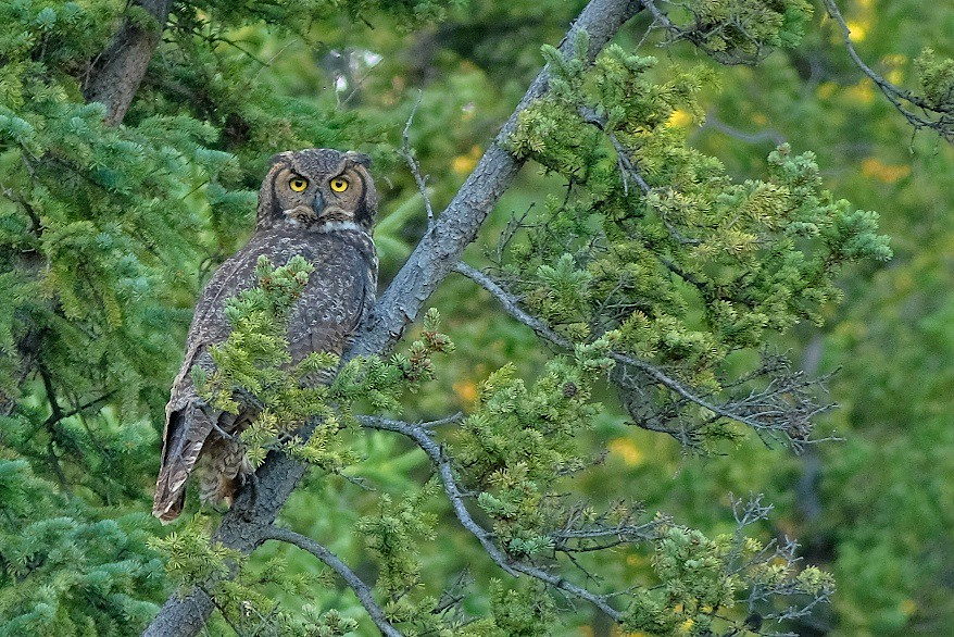 Great Horned Owl [Bubo virginianus]