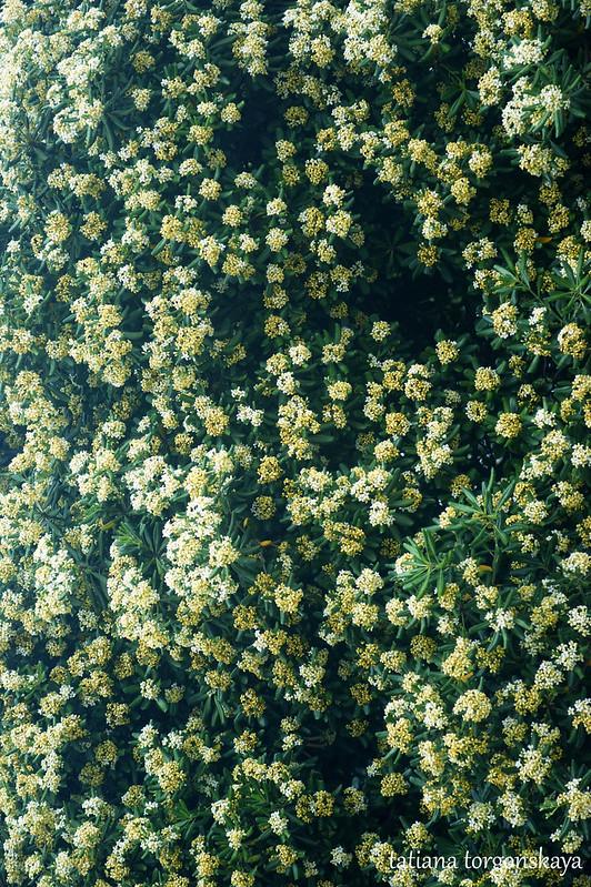 Живая изгородь из питтоспорума