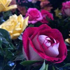 Detalhes das rosas bicolores que compõem o belo andor de Santo Antônio, padroeiro dos católicos do Cabo de Santo Agostinho