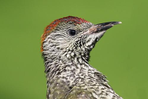 Baby Green Woodpecker