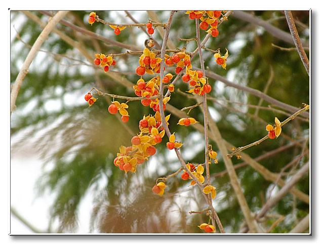実を多数残しているツルウメモドキ.実を食べる野鳥が少ないためかこのような木があちこちで見つかった.