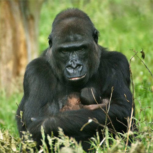 Newborn Silverback Gorilla Newborn Silverback Gorilla