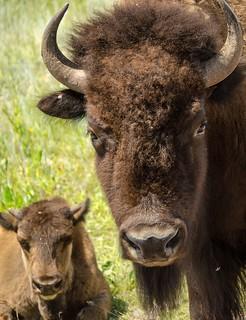 mom and calf buffalos