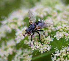 A hairy fly - Heimanshof - Zuiderpark - The Hague