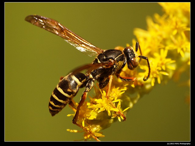 Wasp as pollinator